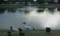 ducks and geese by the lake